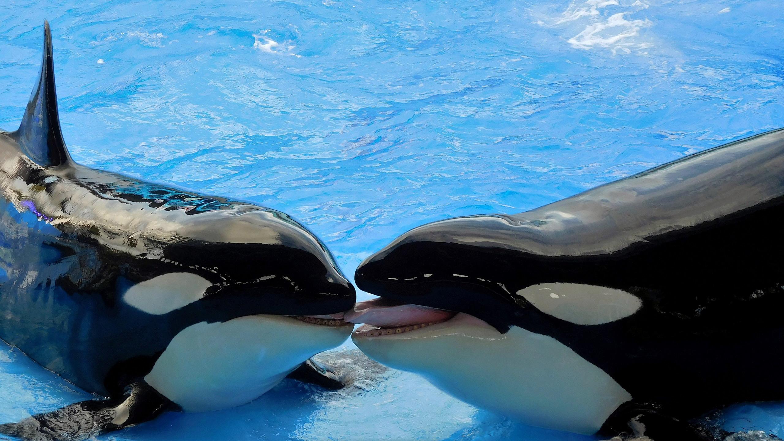 Killer whales wallpaper 58 pictures altavistaventures Gallery