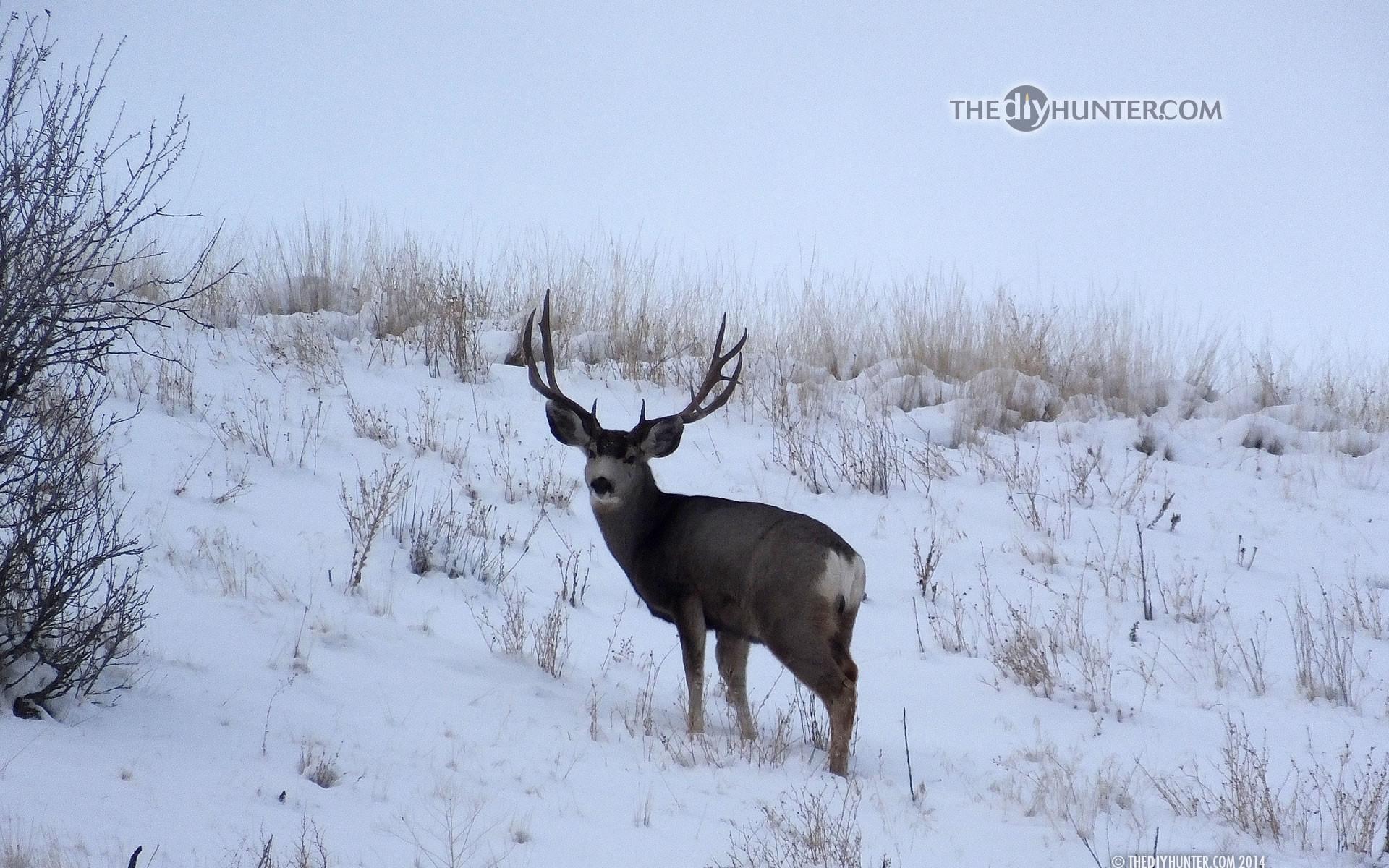 Mule Deer Wallpaper 56 Pictures